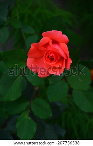 Vibrant coral rose blooming in the garden - stock photo