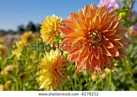 Vibrant Dahlias in a Row