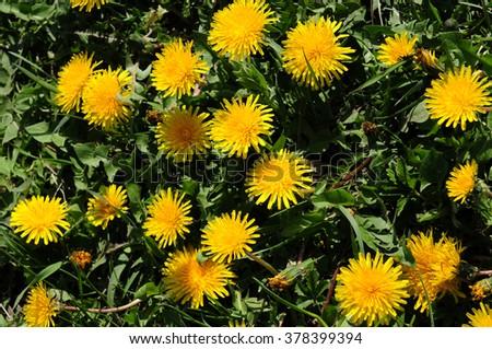 Vibrant dandelion flowers  - stock photo