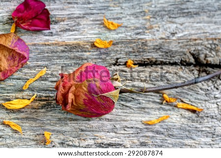 Vibrant dead dried rose with extra petals on rustic table