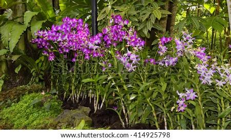 Vibrant Dendrobium orchids - stock photo