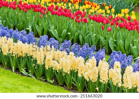 Vibrant flowerbed spring flower park with hyacinth and tulips - stock photo