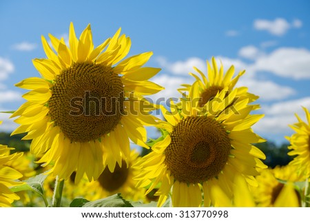 Vibrant fresh and colorful sunflowers against a beautiful blue late summer sky - stock photo