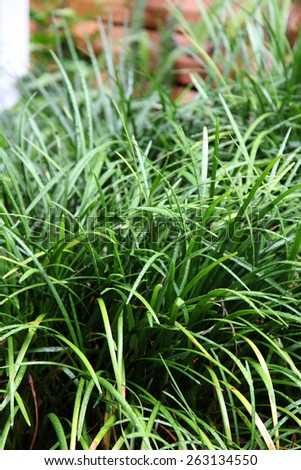Vibrant green Australian Native Grass with water droplets on leaves - stock photo