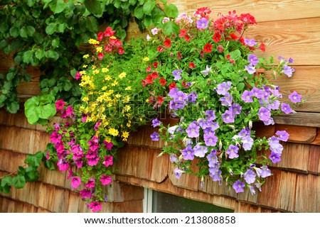vibrant multicolored petunias hanging outside of wooden house - stock photo