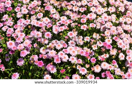 Vibrant Mum flowers background - stock photo