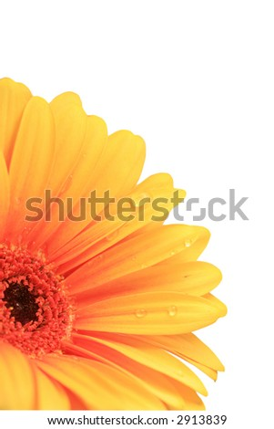 Vibrant orange large Gerber daisy with water drops isolated with clipping path