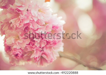 Vibrant pink blossom tree flowers in spring