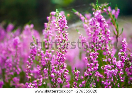 Vibrant pink common heather (Calluna vulgaris) blossoming outdoors. Botanical photo - stock photo