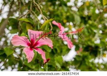 Vibrant pink Hibiscus flower  - stock photo