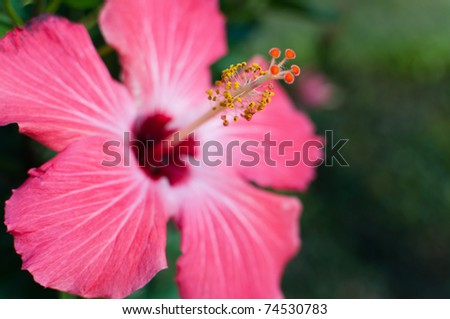 Vibrant, pink hibiscus with tropical background - stock photo