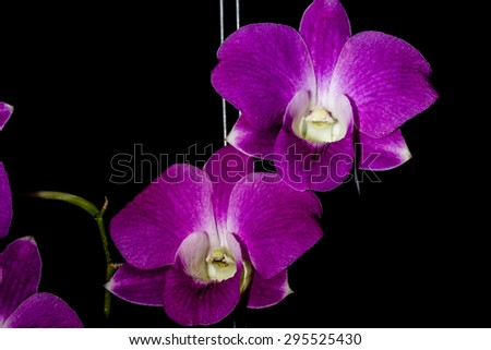 Vibrant purple tropical orchid flower on black background,Thailand