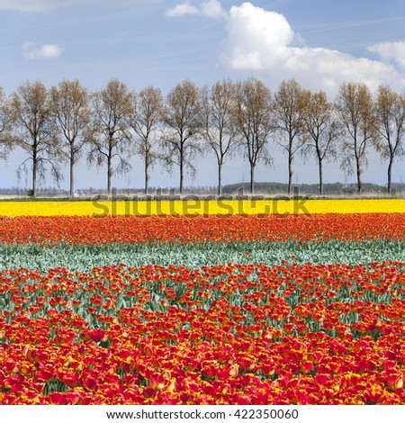 vibrant red and yellow tulips on field with tree line and blue sky in the background on dutch landscape - stock photo