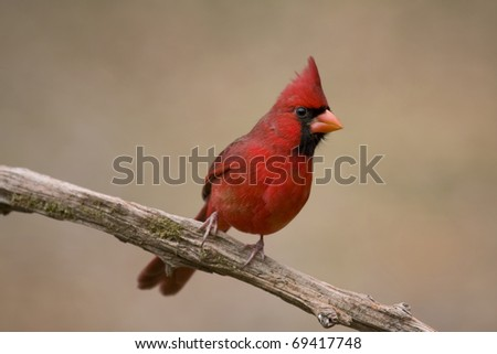 Vibrant red cardinal perched on a branch