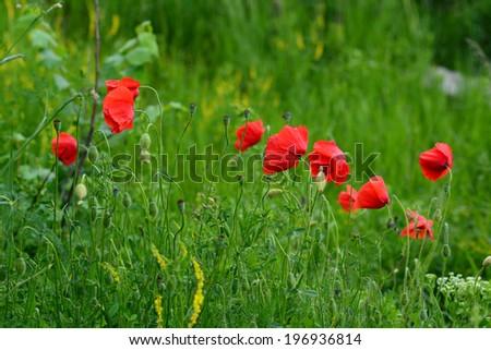 Vibrant red poppies in natural habitat - stock photo