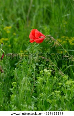 Vibrant red poppy in natural habitat - stock photo