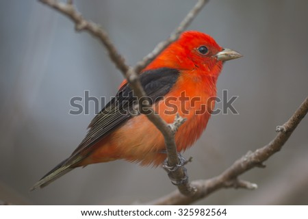 Vibrant Red Scarlet Tanager bird in spring.