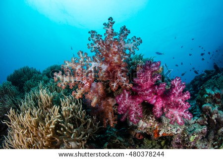 Vibrant soft corals grow on a healthy reef in Fiji. This South Pacific island group is a favorite destination for scuba divers, snorkelers, and adventure-seekers.
