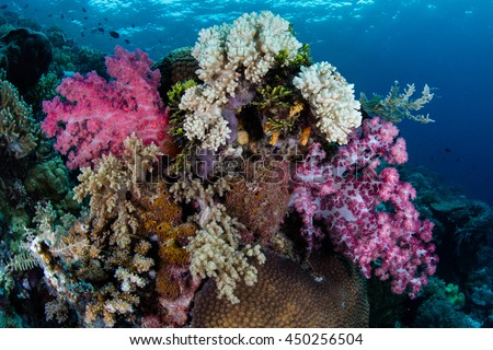 Vibrant soft corals grow on a healthy reef in Wakatobi National Park, Indonesia. This remote region harbors spectacular marine biodiversity and is a popular destination for divers and snorkelers.