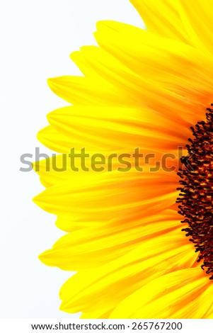 Vibrant Sunflower Petals - stock photo