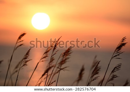 Vibrant sunset over the Baltic sea whit long reed in the foreground - stock photo