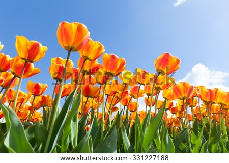 Vibrant tulips withe a clear blue sky in The Netherlands