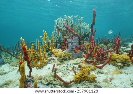 Vibrant underwater life with sea sponges in a Caribbean coral reef, Central America, Panama - stock photo