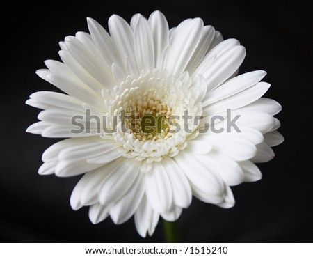 vibrant white gerber daisy - stock photo