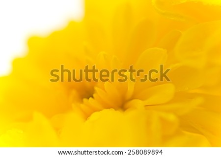 Vibrant yellow aster flower, dew. macro photo background. - stock photo