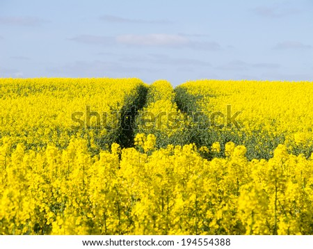 Vibrant yellow Canola field, with blue sky for copy-space. - stock photo