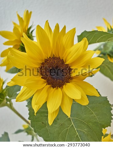 vibrant yellow sunflower close-up on white wall background - stock photo