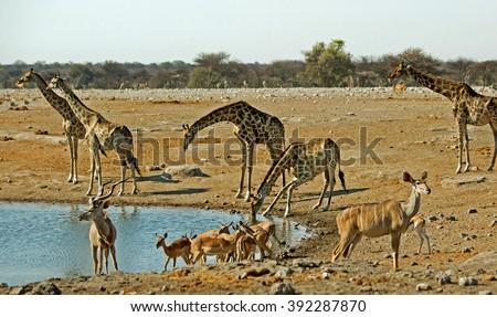 Vibrantwaterhole in Etosha with many different animals including giraffes, kudu, & Springok - stock photo