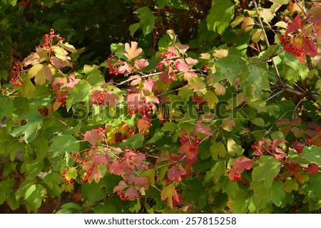 Viburnum opulus foliage and fruits - stock photo