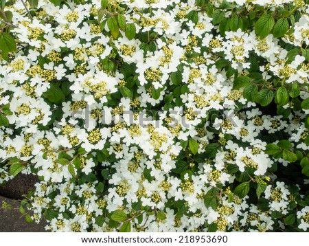 Viburnum plicatum is a species of flowering plant in the family Adoxaceae - stock photo