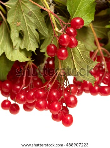 viburnum red on a white background