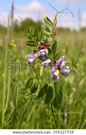 Vicia blooming on a wild meadow. - stock photo