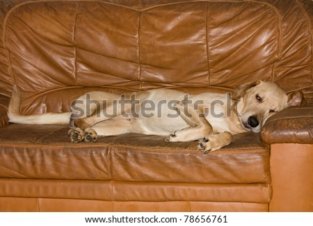 vicious dog lying on couch - stock photo