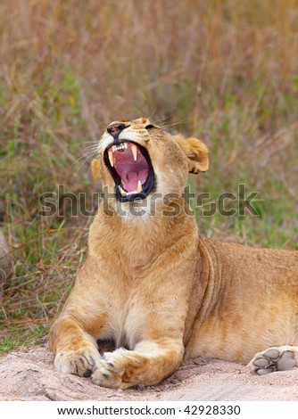 Vicious Lioness (panthera leo) lying in savannah in South Africa