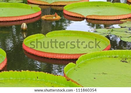 Victoria amazonica Lotus leaf green  background - stock photo