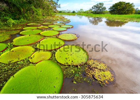 Victoria Amazonica, the largest waterlily in the world in the Amazon rain forest in Peru - stock photo