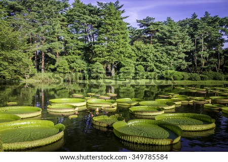 Victoria amazonica with a coniferous forest at botanical gardens in Tokyo JAPAN. Huge floating lotus,Giant Amazon water lily. - stock photo