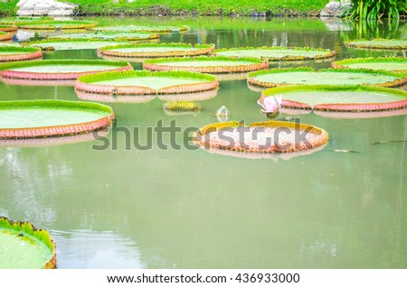 Victoria lotus flowers and leaves Floating in the lake during the day. - stock photo