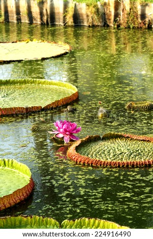 Victoria lotus in the pond - stock photo
