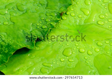 Victoria lotus leaf with water droplet
