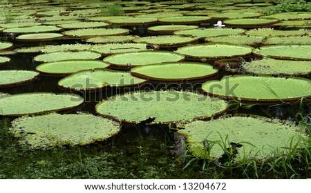 Victoria regia (Amazon Giant lily) - stock photo