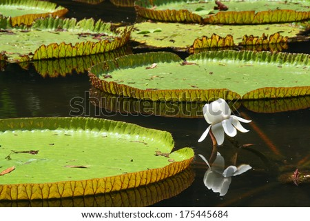 Victoria regia (water lily) in botanical garden - stock photo