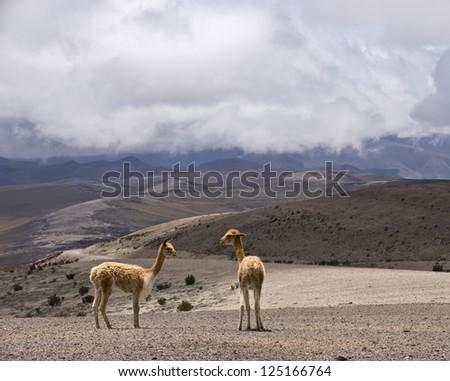 Vicu�±a or vicugna. Cordillera Occidental, Andes, central Ecuador, The photo was taken on the road through the Andes near the inactive stratovolcano Chimborazo - stock photo