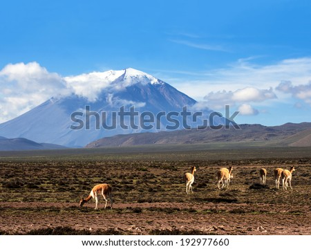 Vicugna is a wild South American camelid, which live in the high alpine areas of the Andes. It is a relative of the llama. Stratovolcano El Misti, Arequipa, Peru - stock photo