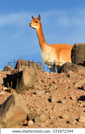 Vicugna Or Vicuna Male A Camelid Specie Specific To The Andes Highlands In South America Guarding His Flock Shot In The Wild In Chimborazo Faunistic Reserve In Ecuador - stock photo