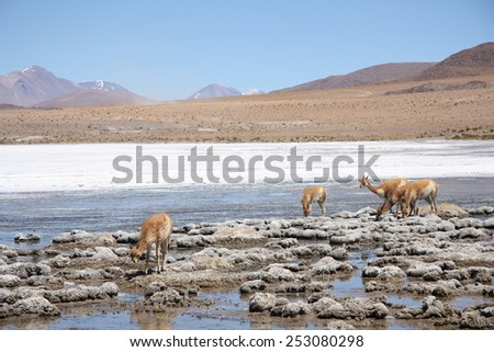 Vicugnas or wild lamas in Altiplano, Andes in Bolivia, South America - stock photo